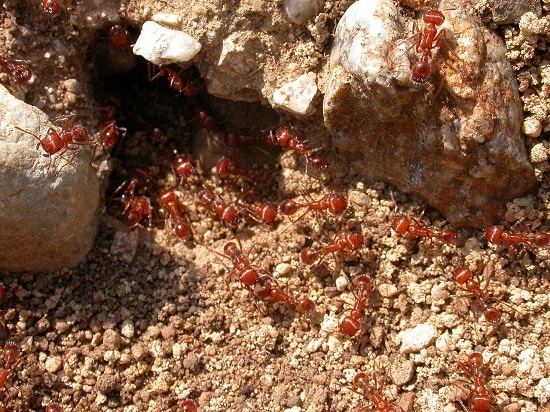 Ant colony infestation