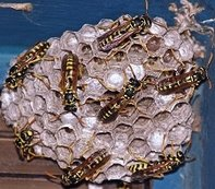 Bees nest, wasps and hornets extermination